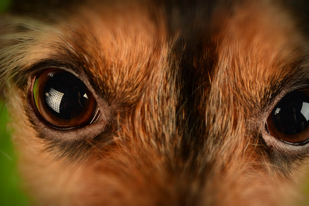 What Can I Use For Dogs Eye Infections