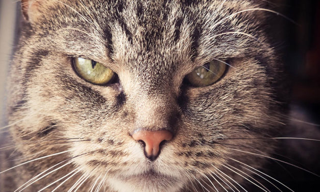 Cat Eye Infections – How to Prevent Common Eye Infections in Cats