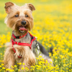 Know the Symptoms of Allergies in Dogs